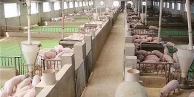 东北养猪大跃进连遇困局:粪污处理虚有其表、成本超预期、人才短缺……