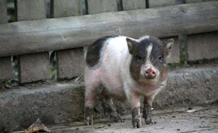 猪价跌至新低点 要拿什么拯救亏损的市场?