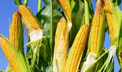 5月3-4日国家临储玉米竞价销售800万吨