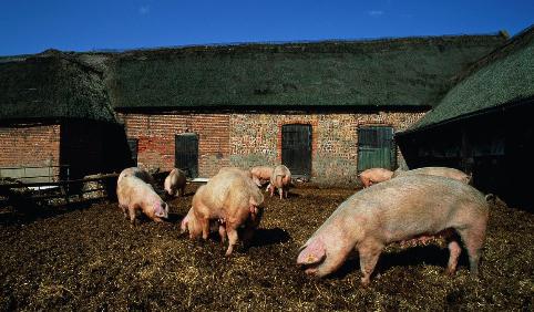 生料喂猪八注意,增加采食促生长,减少饲料消耗
