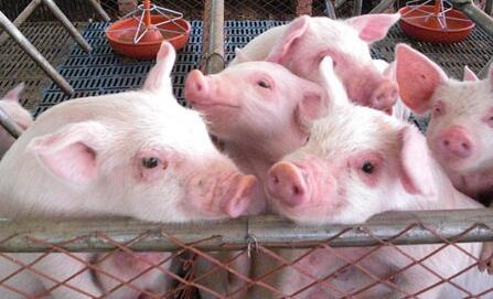 养猪场管理六大妙招,聪明的养猪人都在用?