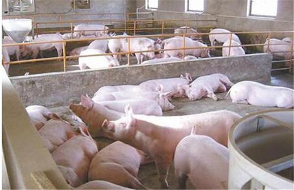 5、注意猪舍的温度,最高不能超过28℃,24~26℃最佳,这就需要猪场工作人员做好猪场的降温工作了。另外,猪群的饲养密度要大,注意通风换气,不能猪挤猪,热量散不出去,更容易中暑。