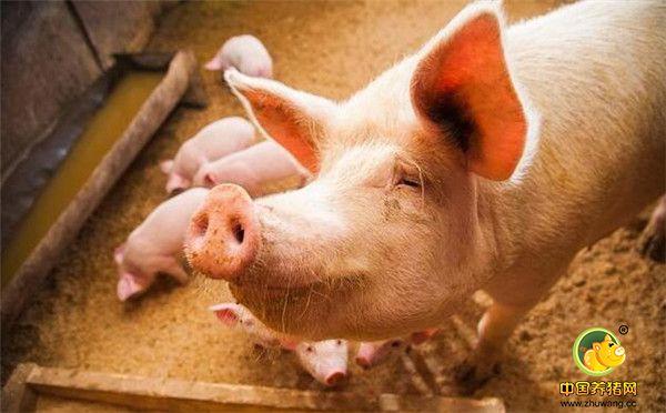 新手养殖户涨知识!这样饲养空怀母猪能大大提高受胎率!