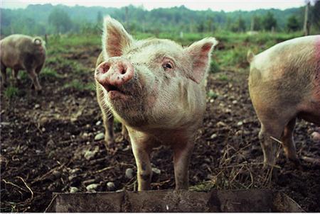 2018年05月03日(10至14公斤)仔猪价格行情走势