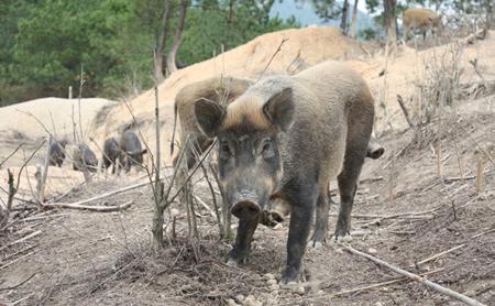 非洲猪瘟爆发影响匈牙利肉类出口