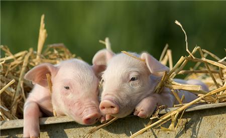 2018年05月04日(15至19公斤)仔猪价格行情走势