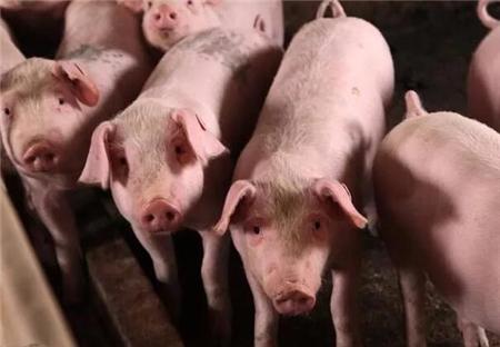 2018年养猪还能赚钱吗?这几个因素很关键