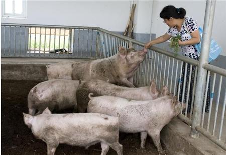 饲料价格下降,生猪价格上涨,养猪户们的好日子来了