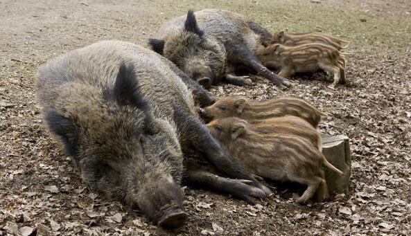 行情差就摔小猪!你不是真正的养猪人!
