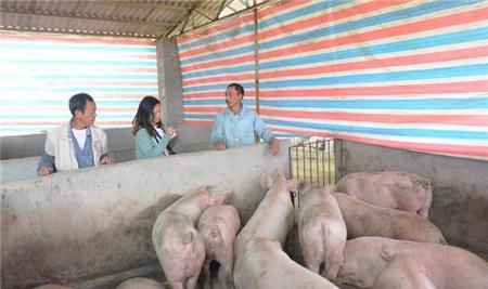 猪价持续低迷,大养猪场和小散户,究竟谁亏得多?