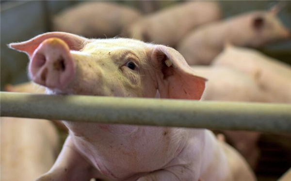 每窝最小的猪只能扔掉?这三个方法值得养殖户尝试,成功率很高!