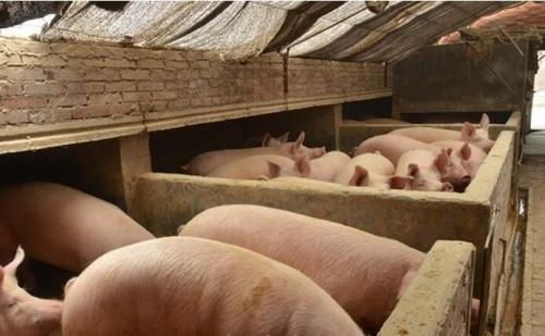养猪人心碎了:现在这么低的猪价,还没有真正探底?