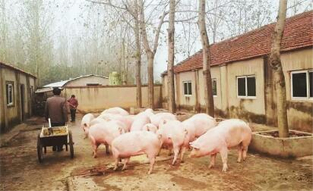传染性胸膜肺炎的猪病图谱