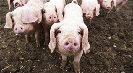 牛猪出栏加速,标猪价格坚挺,牛猪掉价是否会拉低标猪价格?!