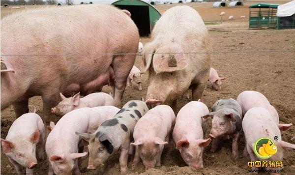 猪场内母猪产死胎增多,养殖户知道什么问题怎么防控吗?