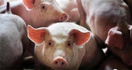 """猪价难,但勿跟风反受其害,要考虑""""库存""""……"""