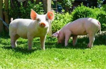 """进口肉消费竟占两成?猪价持续低迷,又遭""""洋猪肉""""分流"""