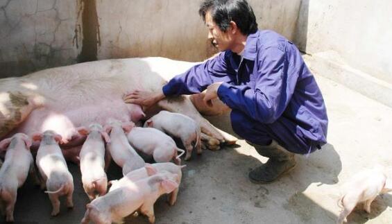 猪场建设有什么标准,朝向,间距有什么要求,这些你都还不知道?