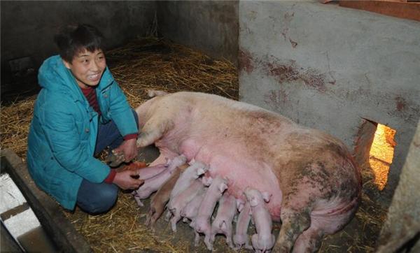 1、我们知道现在的猪肉价格是跌的不能在跌了这可苦了那些猪肉养殖户了,他们辛辛苦苦养了几头猪就是希望在长肥之后能卖个好价钱结果总是不如人意。