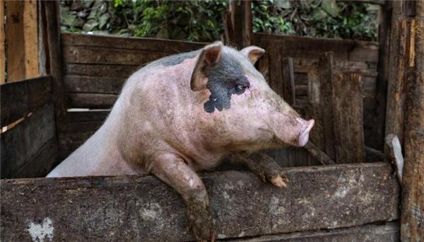 5、第三点:进口肉的控制。每当人们想起进口猪肉,国内的许多养猪户都表示深深的无奈因为进口猪肉价格便宜并且数量非常大而且国外的猪肉肯定是会抢掉国人的生意的。