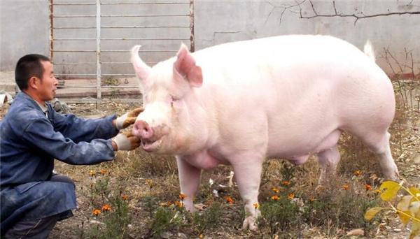 4、第二点:母猪产能的恢复程度。前几年猪价进入低谷期之后母猪的产能开始慢慢恢复即使中间受到了环保拆迁的影响但是相比之前还是有点提高的。