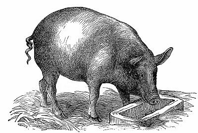夏季养猪场中猪传染性胸膜肺炎怎么治?