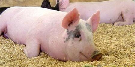 近期饲料原料不断下跌,这能否助力猪价回升?