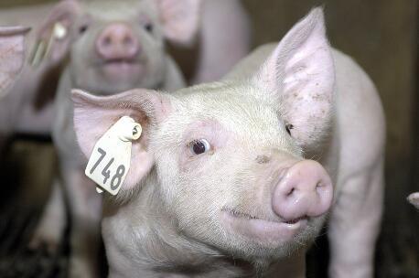 """全国猪价""""一路向北"""",逼近政府调控猪价的黄色预警警戒线?"""
