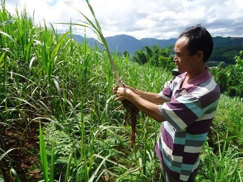 玉米供过于求状态未改扩种需谨慎!市场要看准...