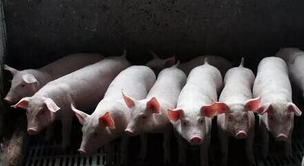 好消息!黑龙江上涨,标猪有涨价趋势?
