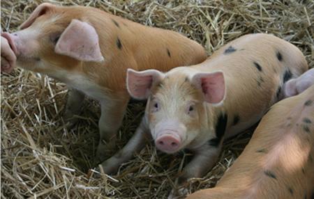 怎么知道母猪配种期间是否怀孕,小妙招巧知母猪是否怀孕?