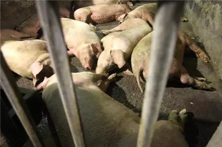 妊娠后期母猪注射弱毒蓝耳疫苗后,是否会导致仔猪成活率降低?