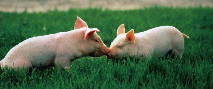 局部地区试探性提价,5月下旬猪价有戏?