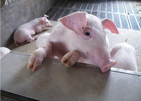 之前猪市连续三年盈利期,陪养了多少巨无霸。只做饲料不养猪的某公司,现在也不务正业开始养猪了而且扩张的规模还不小