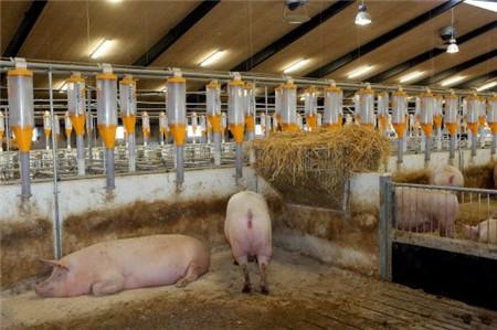 丹麦的养猪业生产——现代、高效、不断变化