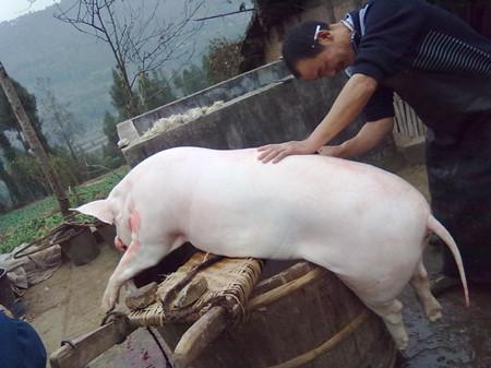 猪价一路狂跌,猪肉进口却再创新高?