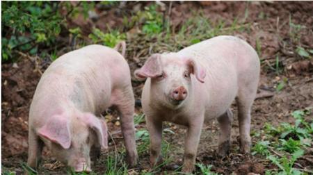 猪价正在筑底,养猪利润已经到了历史最低点?