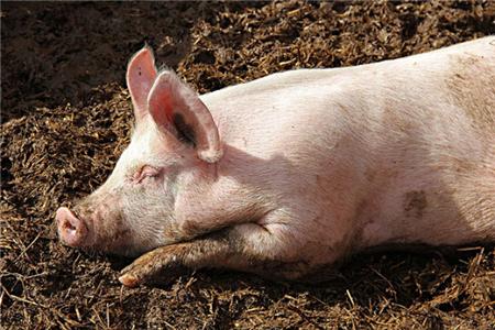为什么母猪的肢蹄病发生率如此高?
