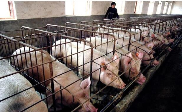 夏季育肥猪的饲养管理?这几点你不得不知!
