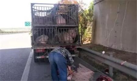 猪:求放过!山东一货车司机嫌猪不听话 高速上直接杀猪?!