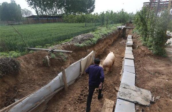 农村大叔挖30米长沟养一头猪,每天撵着跑,网友:一举三得