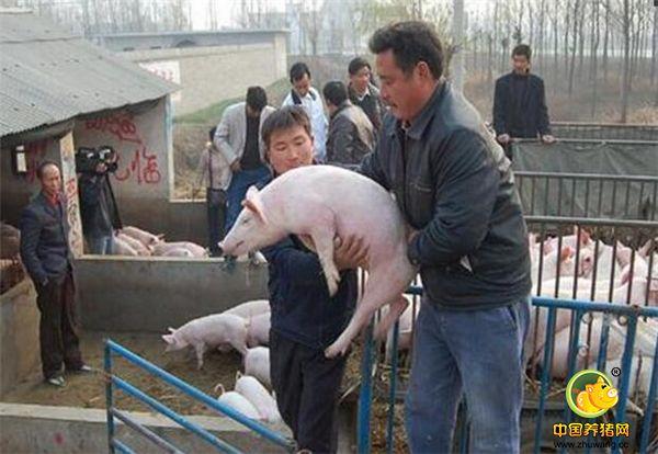 养猪界也有黄牛,不养猪却靠猪千人每年获利过亿元