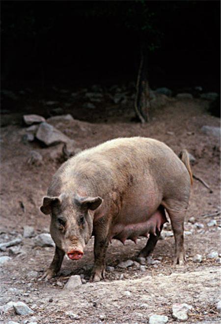 拉丁美洲如何适应欧洲的养猪技术?