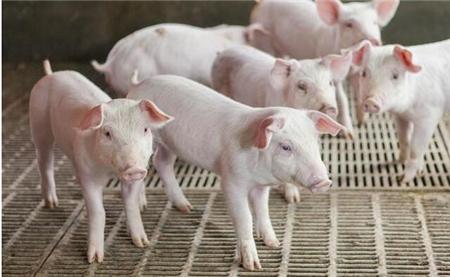 养猪场的小细节:设计好了,盈利翻10倍!