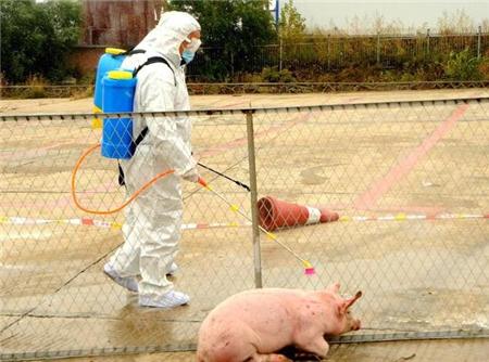 治疗猪瘟暂无特效药,牢记这 3点,堪比特效药!