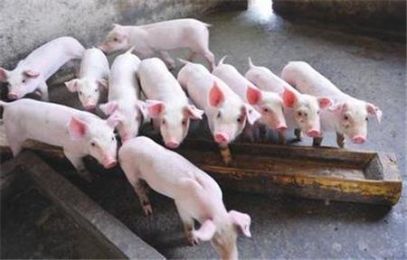 仔猪边吃边拉,可能患了这些病,得赶紧治!