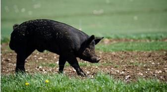 """猪肉行情持续下跌,活猪均价同比下降超30%。部分中小养猪企业反映今年以来价格已近腰斩,养猪户在普遍亏损的同时,态度出现分化,一些大户准备""""清盘""""离场,另一些大户则企图逆市""""抄底""""、扩大养殖规模。"""