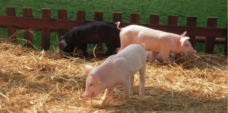 2018年05月17日(10至14公斤)仔猪价格行情走势