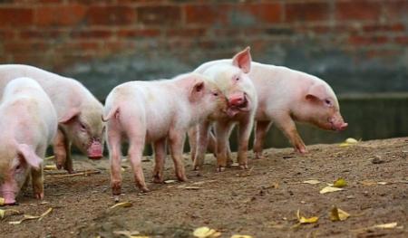 2018年05月17日(15至19公斤)仔猪价格行情走势