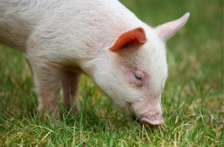 2018年05月17日(20至30公斤)仔猪价格行情走势